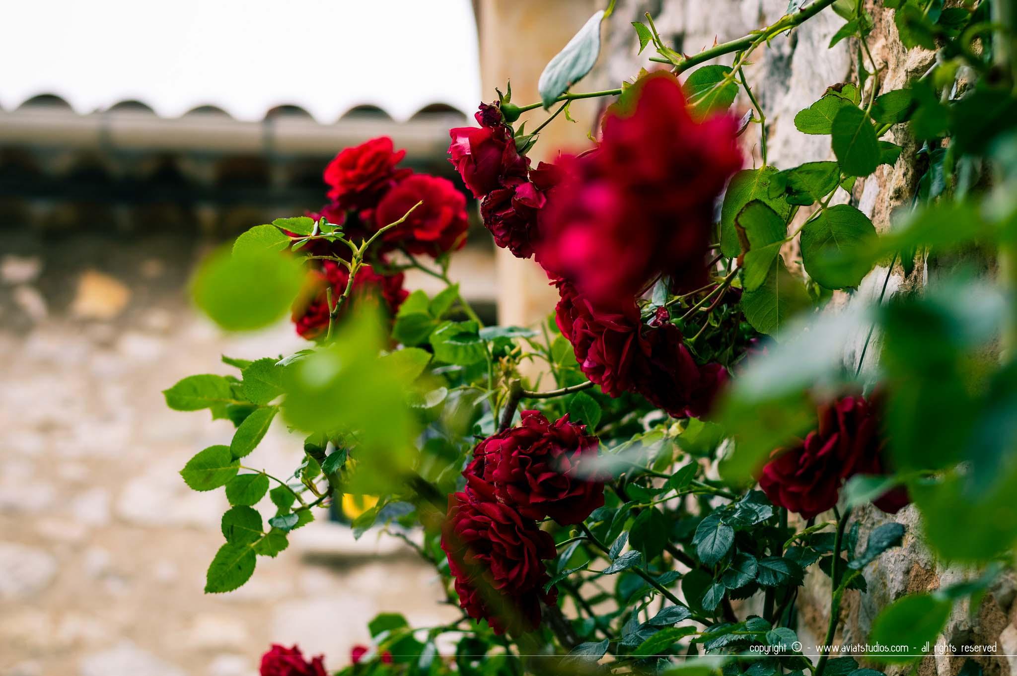Une journée à Gourdon - un rosier contre une façade