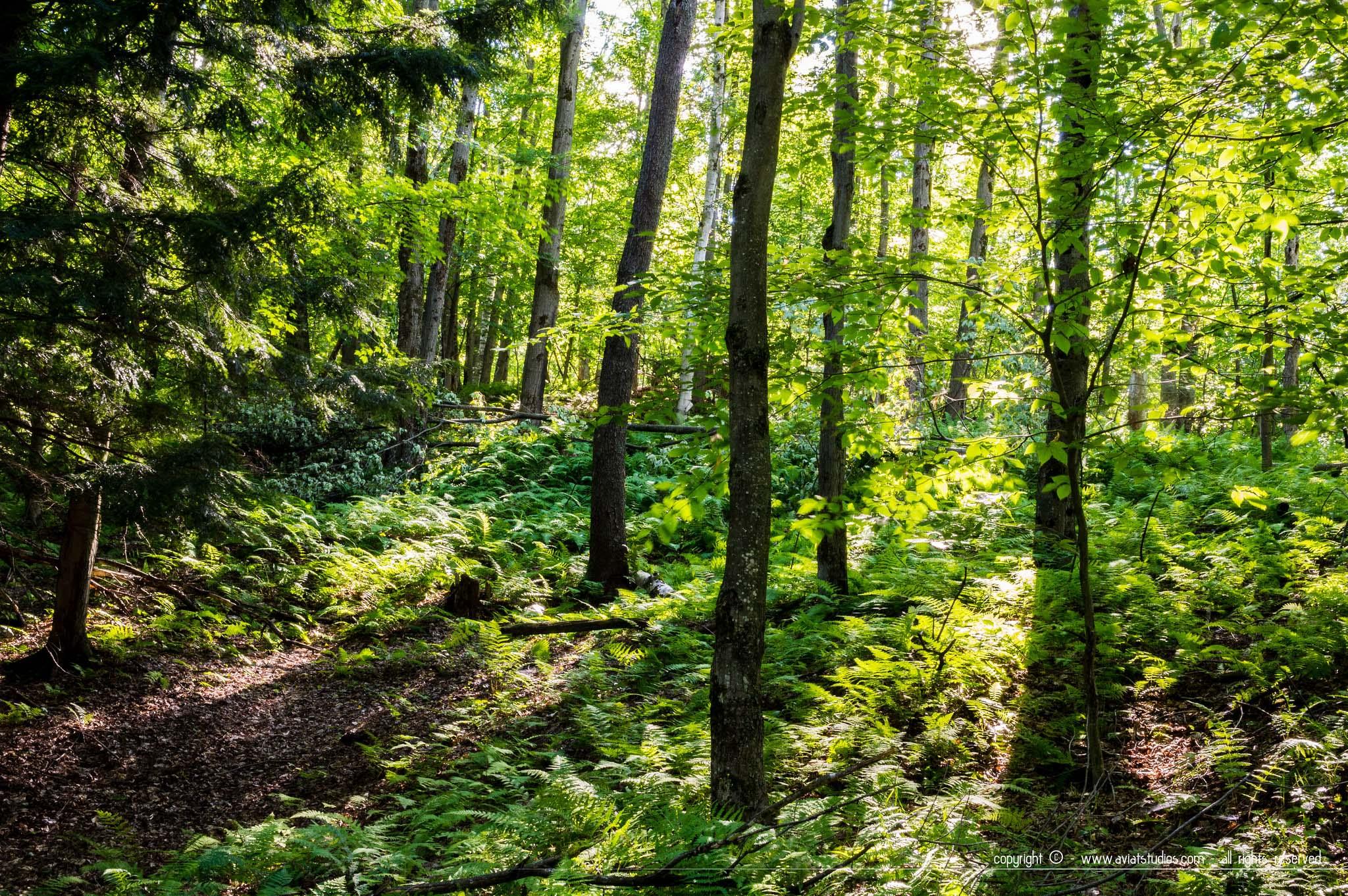Coaticook - des rayons parviennent à pénétrer une forêt très verte