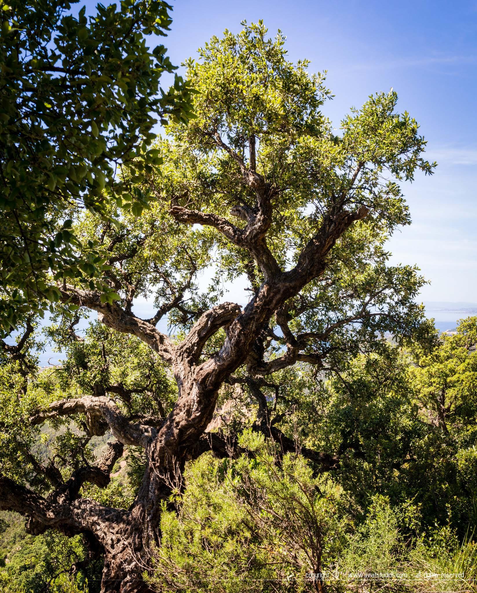 Randonnée dans l'Estérel - un des nombreux chênes lièges du massif