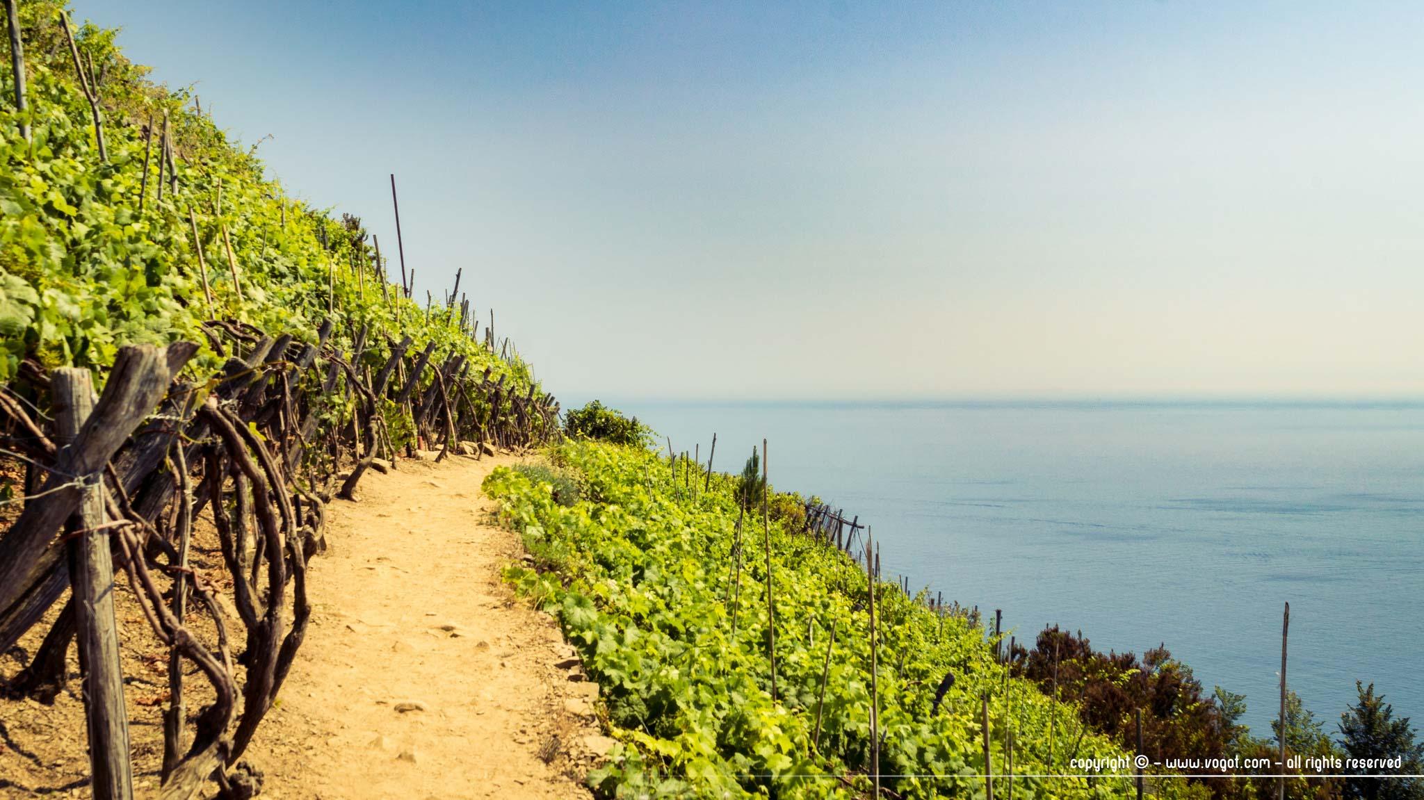 Cinque Terre à pied - les vignobles bien verts donnant sur la Méditerranée