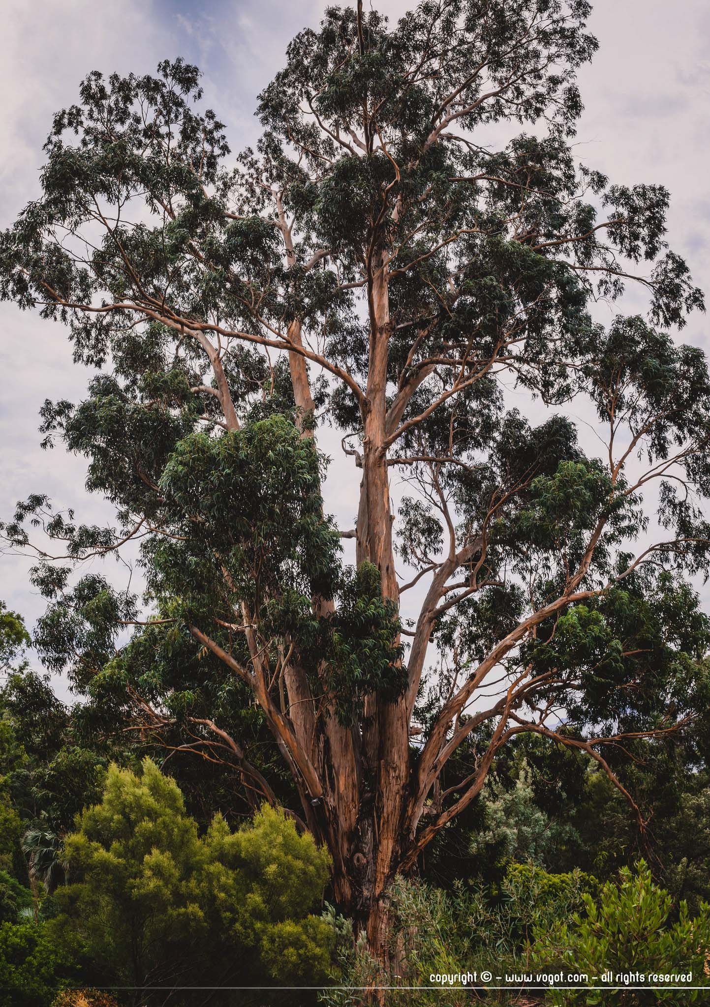 Domaine du Rayol - eucalyptus dans le jardin d'Australie