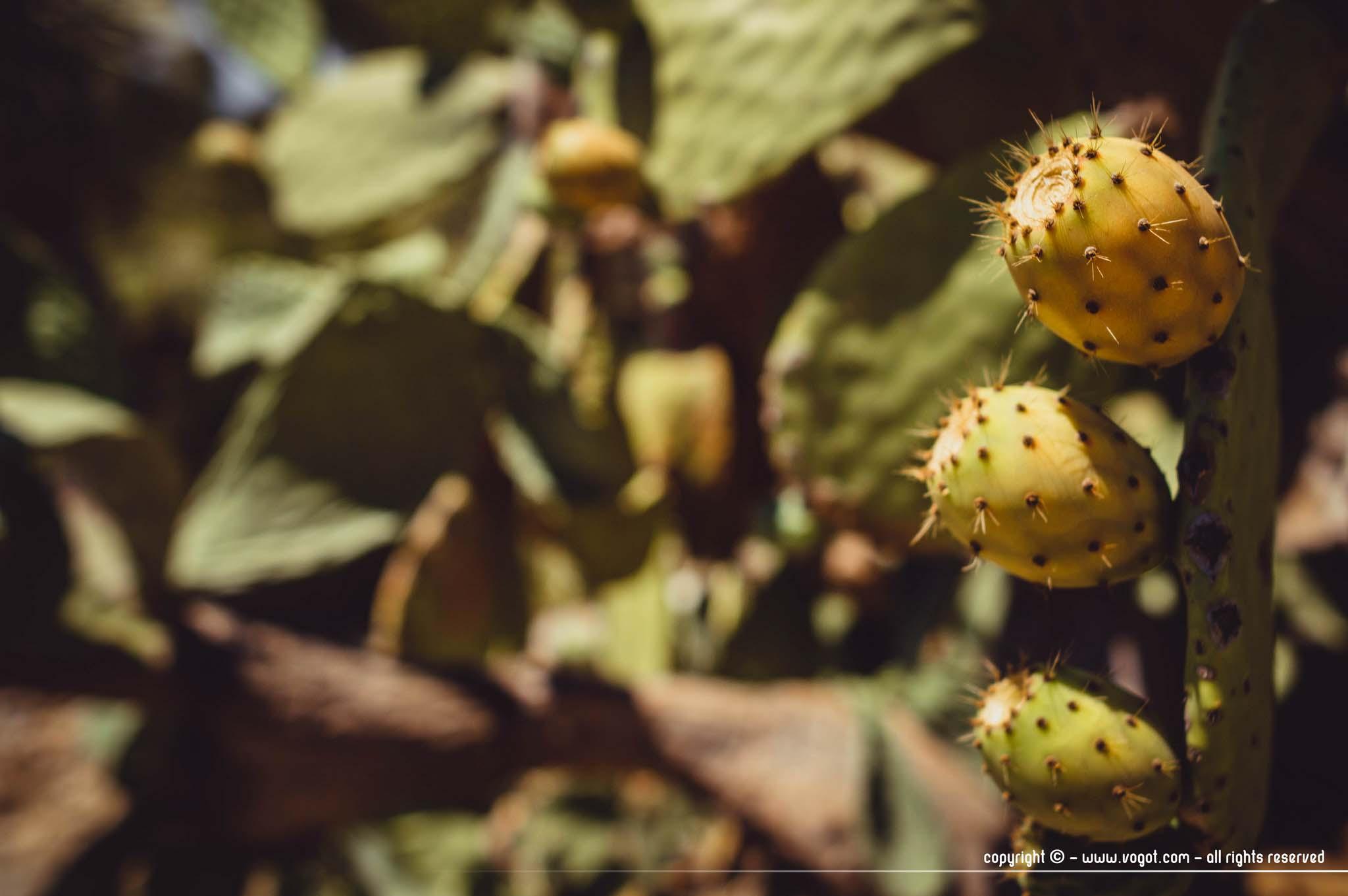 Domaine du Rayol - Figues de barbarie du jardin d'Amérique aride
