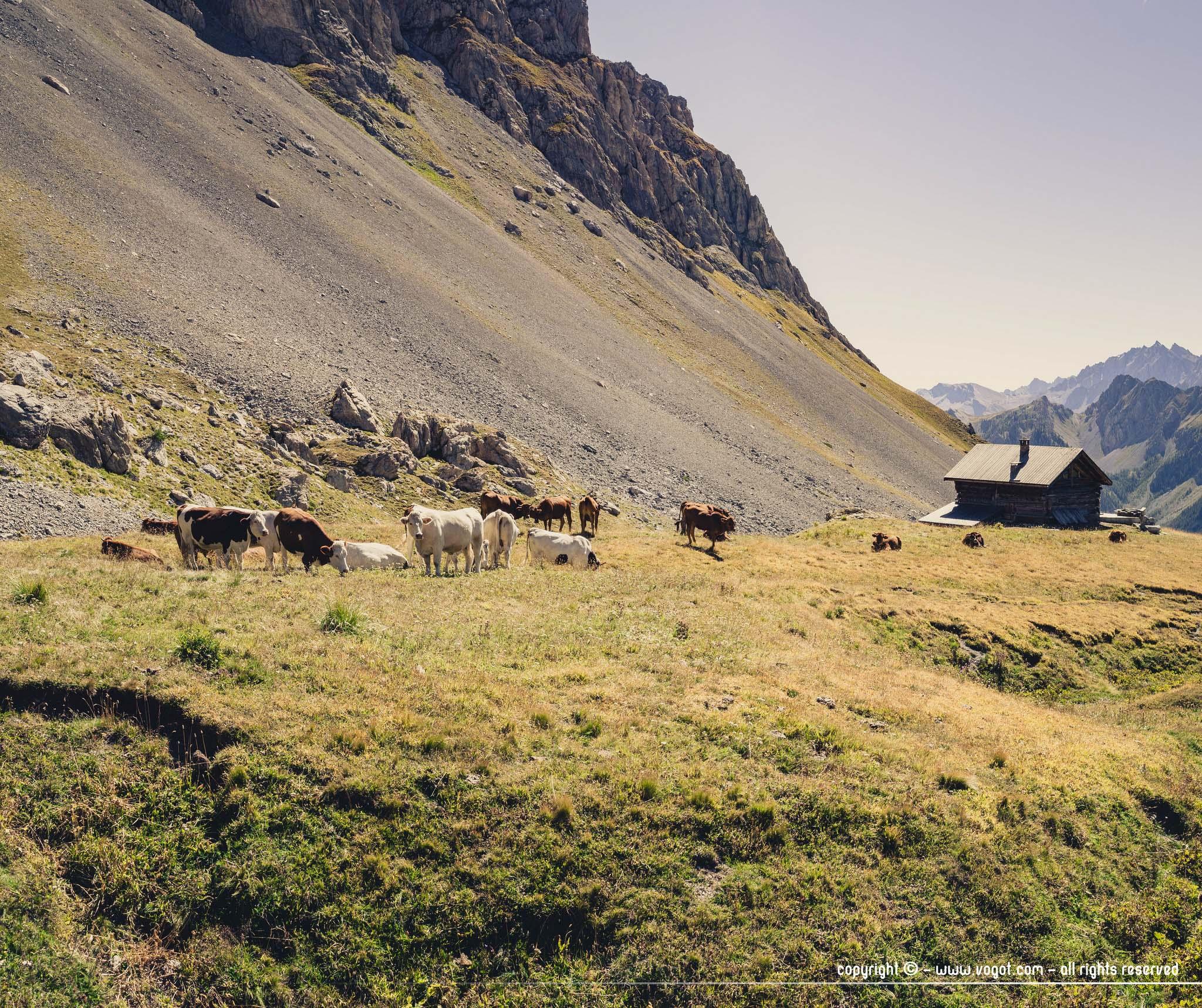 Trek dans le Queyras - le refuge de Furfande et ses vaches