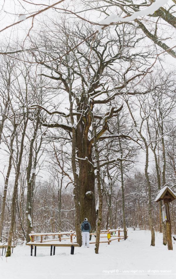 L'arbre officiel national de Lituanie - escapade nature autour de Vilnius